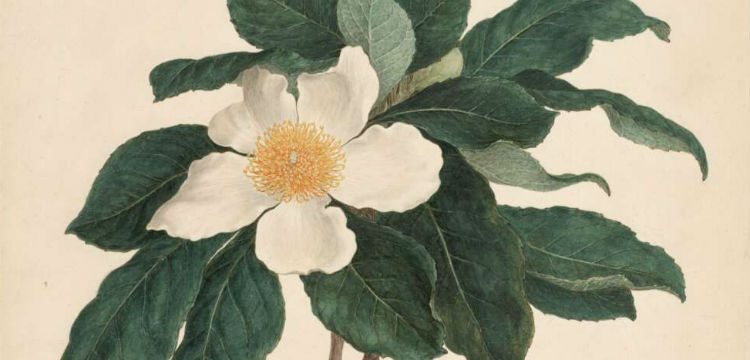 Botanical drawing of Stewartia serrata by Ferdinand Bauer