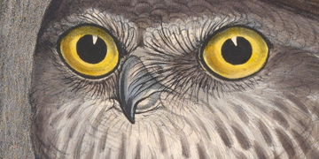 Close up of a Barking Owl