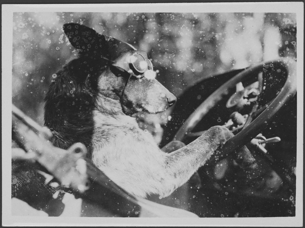 Francis Birtles' dog Dinkum behind the wheel of a car, Australia?, ca. 1924