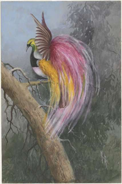 Watercolour painting of a bird of paradise