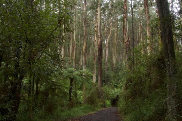 Mountain Ash, Dandenong Ranges by Mark Tindale