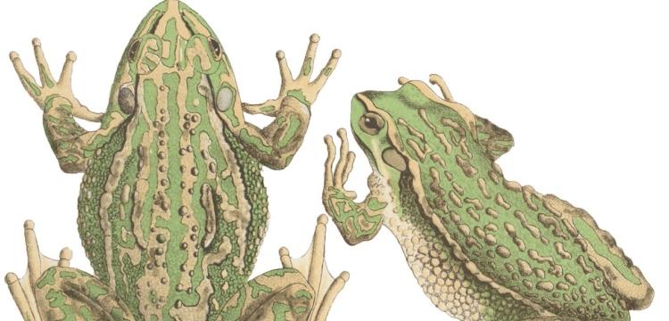 Ranoidea Aurea, The Green and Golden Bell-frog
