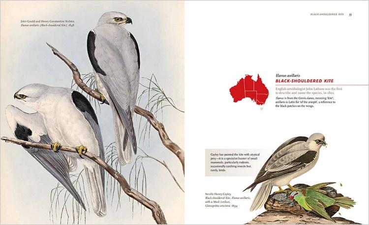 Black-shouldered Kite spread from Predators