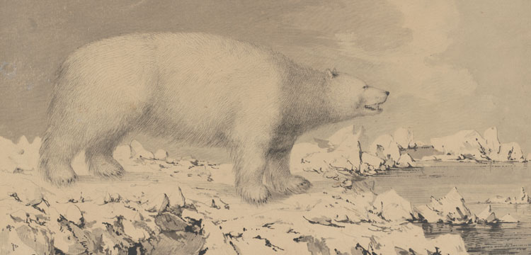 Polar bear drawing