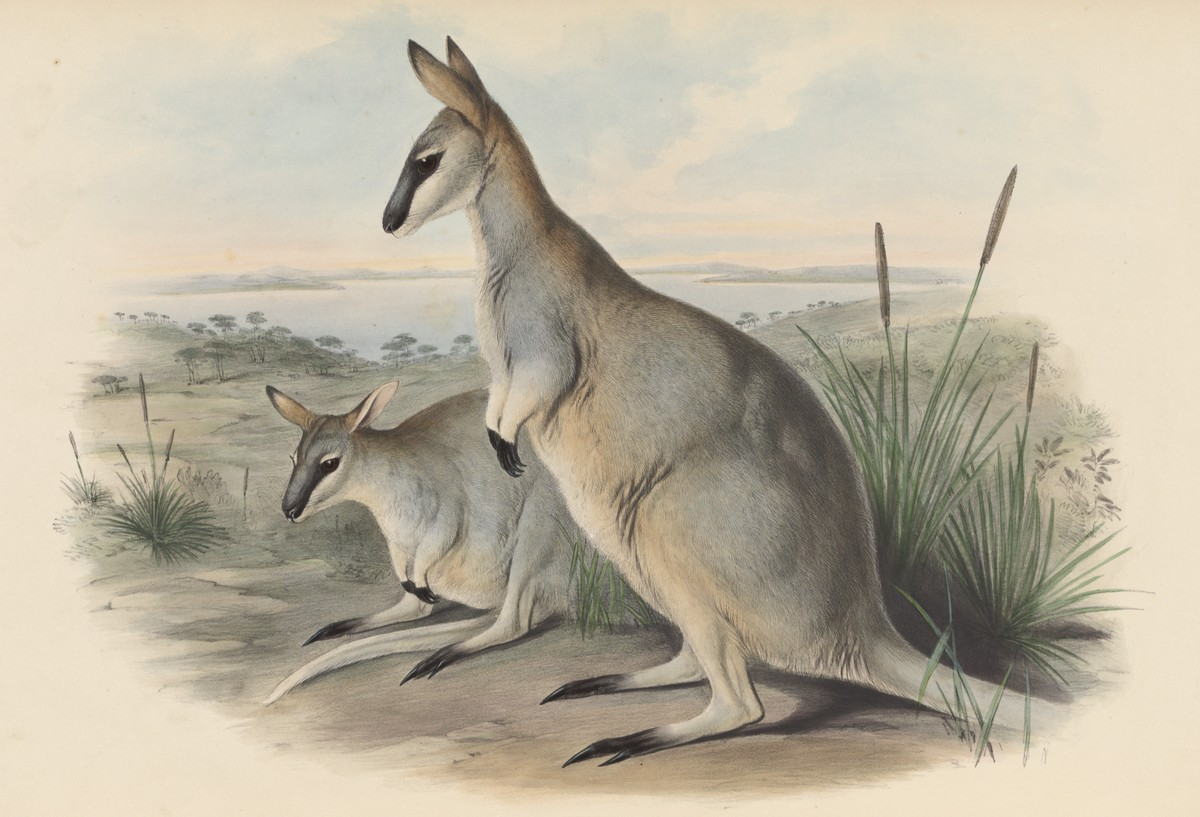 John Gould illustration of Toolache Wallaby
