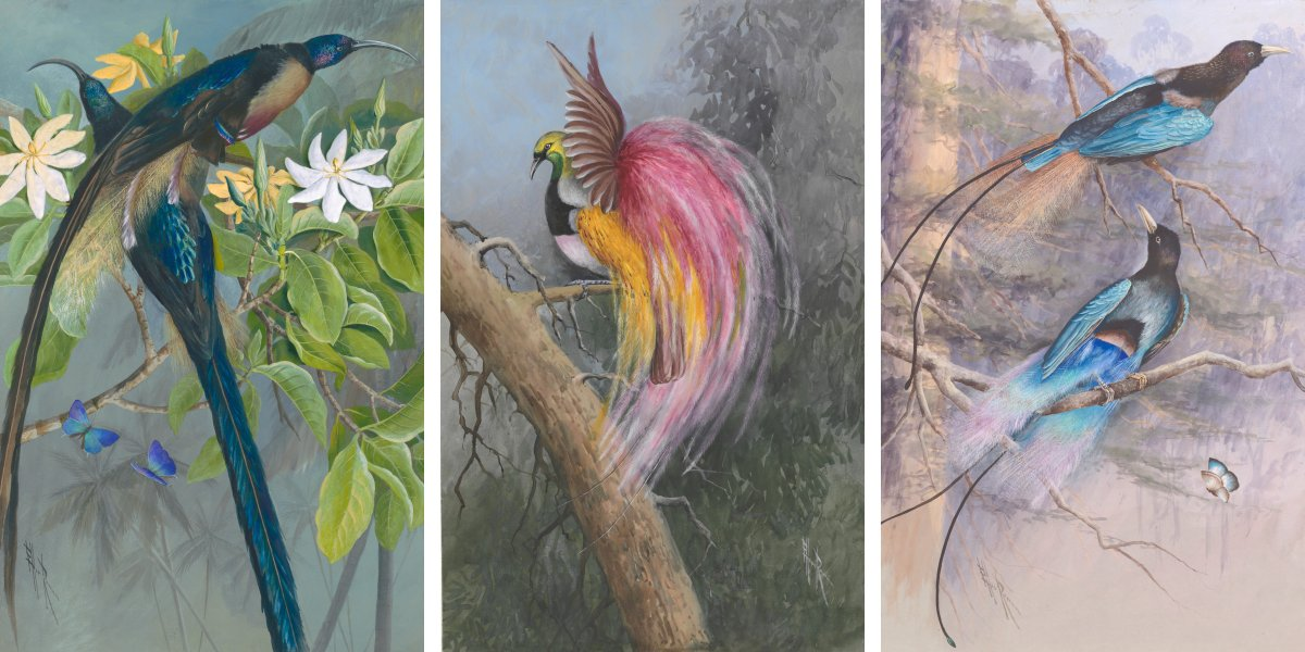 Three of Ellis Rowan's Birds of Paradise artworks