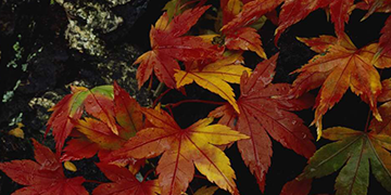 Red maple leaves on a rock