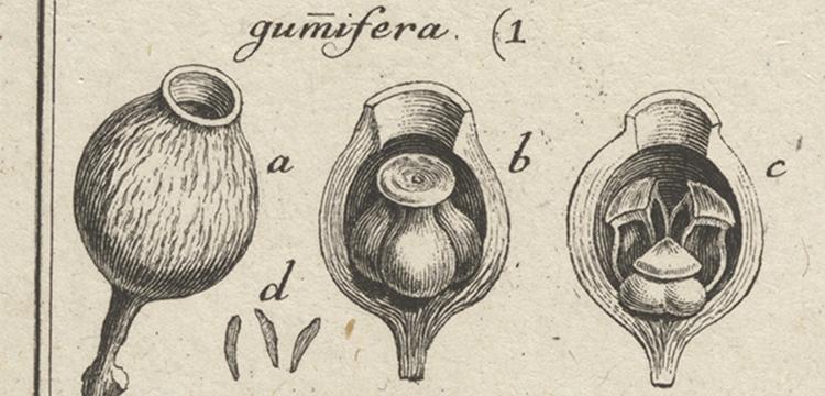 Joseph Gärtner, Plate XXXIV in 'De Fructibus et Seminibus Plantarum', 1788-1792