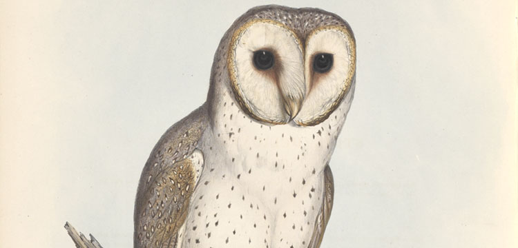 Lithograph of John Gould's Strix delicatulis