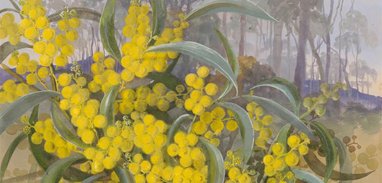 Ellis Rowan, Acacia pycnantha Benth., c.1880