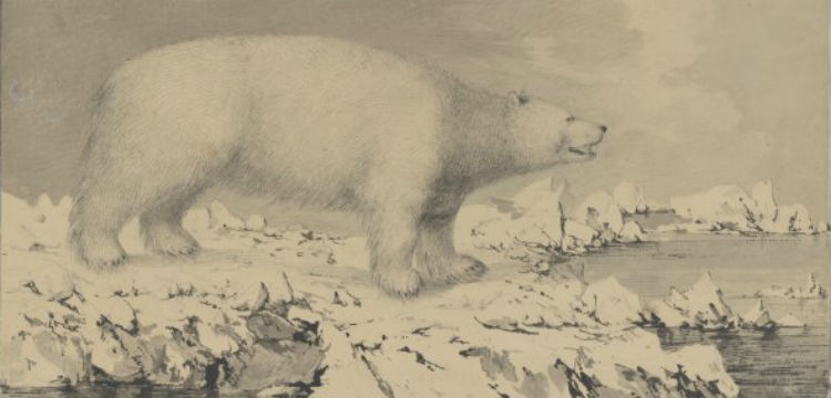 Sketch of a polar bear, created in 1779