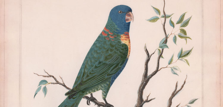 Moses Griffith (1747- 1819), Rainbow Lorikeet, 1772, nla.cat-6155314