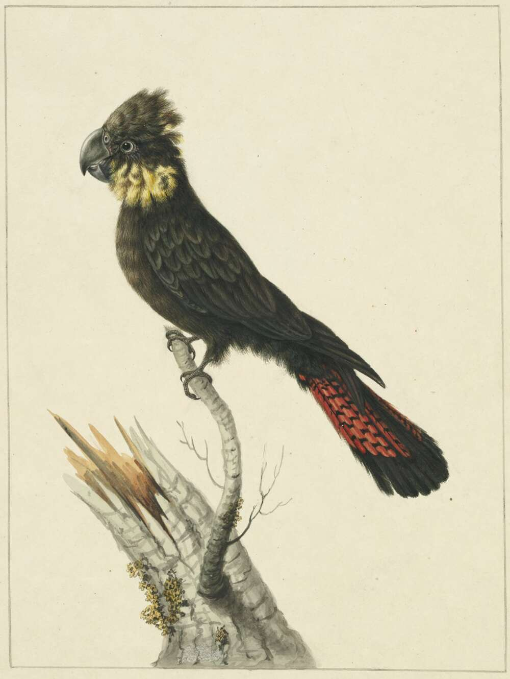 Sarah Stone, Banksian Cockatoo, c.1790