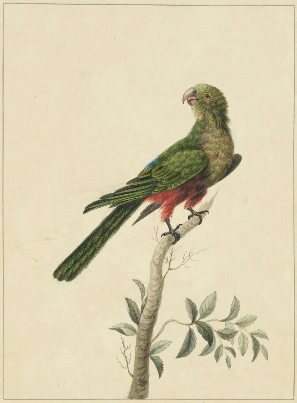 Sarah Stone, Tabuan Parrot, c.1790