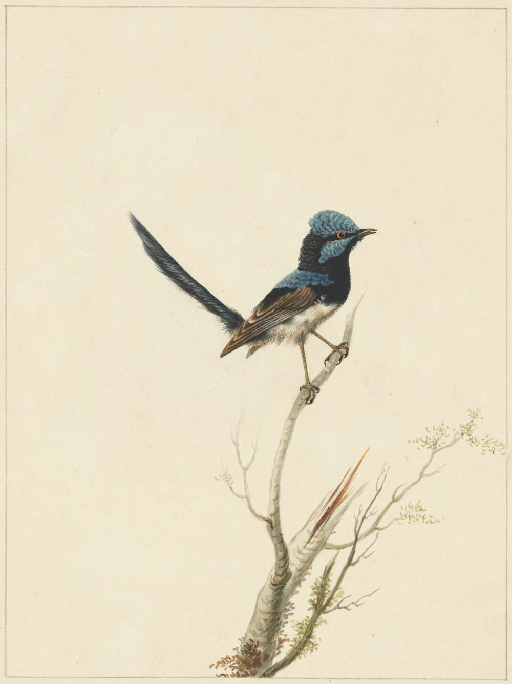 Sarah Stone, Superb warbler [1790]