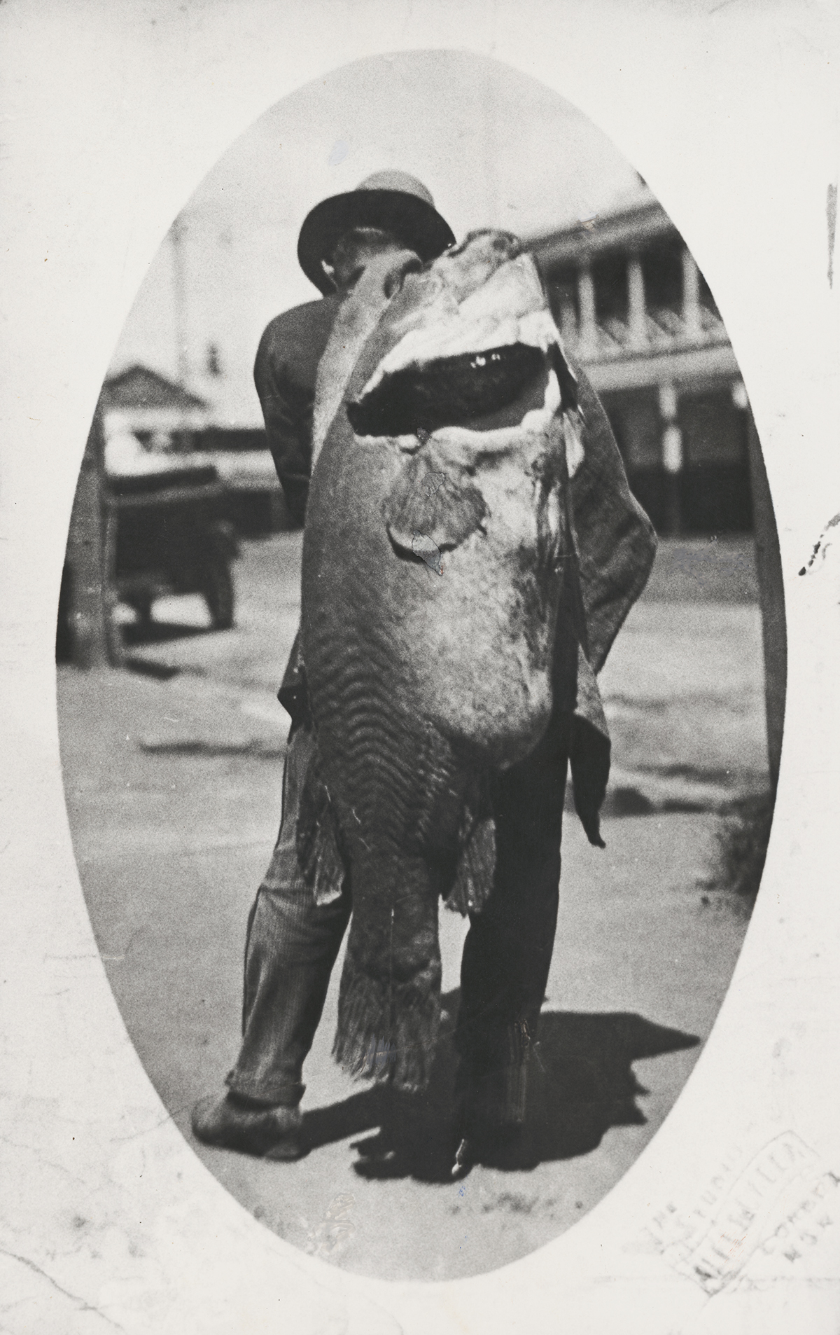 A Ninety-Seven Pound Murray Cod, Caught by a Professional Fisherman near Collendina Station in the Corowa District, New South Wales, 1924