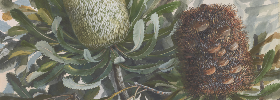Watercolour painting of Banksia bush and flowers