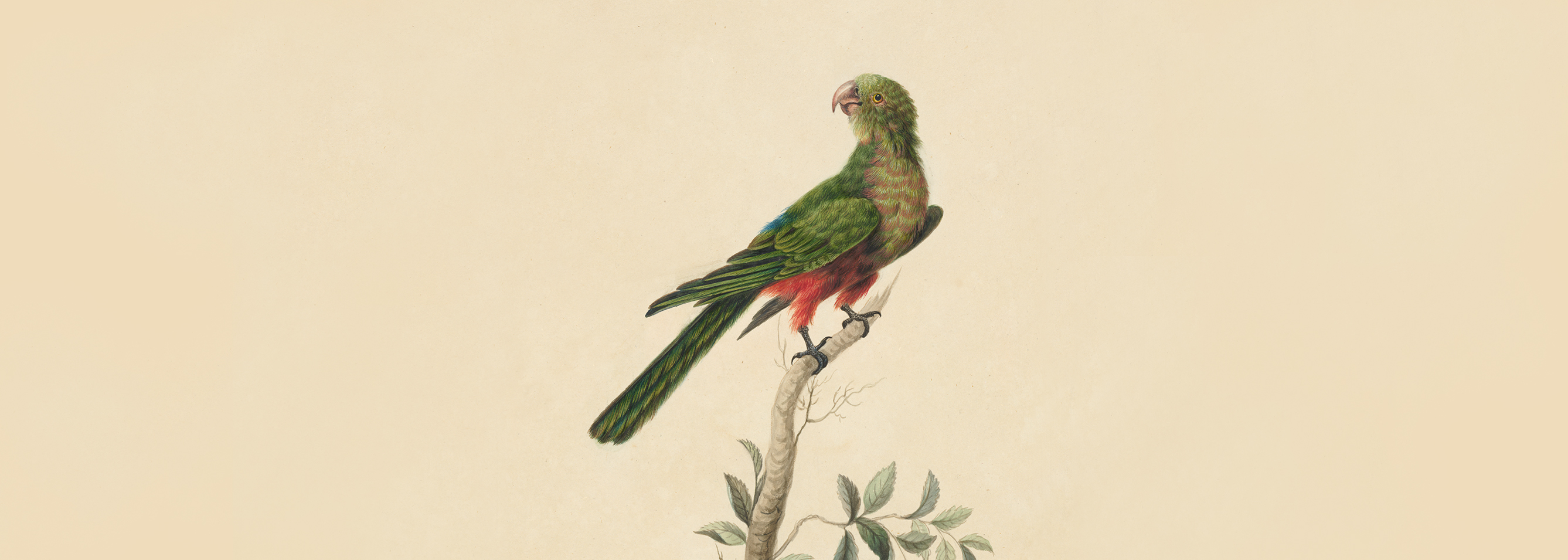 King Parrot by Sarah Stone