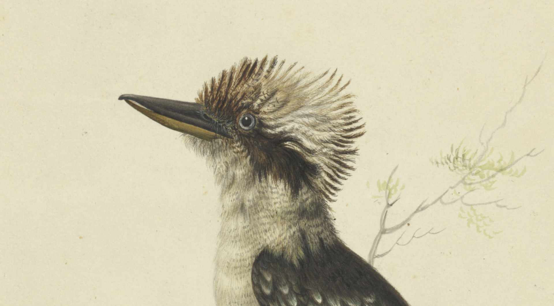 The Great brown kingfisher from 1790, identified as a Kookaburra, by Sarah Stone